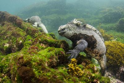 Marine Iguana Underwater, Fernandina Island, Galapagos, Ecuador