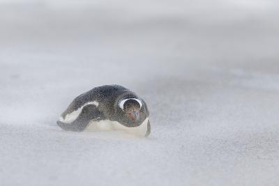 Gentoo Penguin on the Falkland Islands, During a Sandstorm