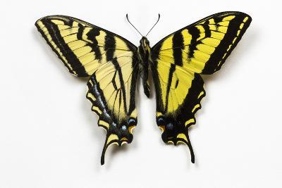 Western Tiger Swallowtail Butterfly, Top and Bottom Wing Comparison