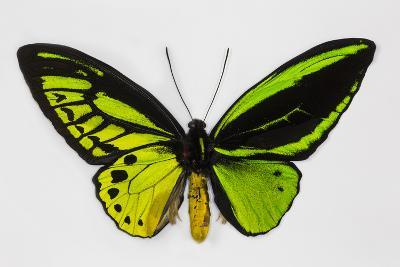 Common Green Birdwing Butterfly, Comparing the Top Wing and Bottom