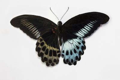 Blue Mormon Swallowtail Butterfly, Top and Bottom Wing Comparison