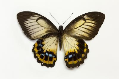 Orchard Swallowtail Butterfly Female, Wing Top and Bottom