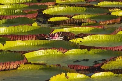 Victoria Amazonica Lily Pads on Rupununi River, Southern Guyana