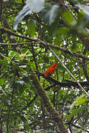 El Gallito de las Rocas O Tunqui (Rupicola Peruviana), Guyana
