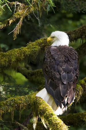 Raptor Center, Sitka, Alaska. Close-up of a Bald Eagle Sitting in Tree