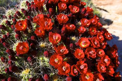Claretcup Cactus (Echinocereus Triglochidiatus) in Bloom