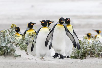 Falkland Islands, South Atlantic. Group of King Penguins on Beach