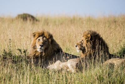 Kenya, Maasai Mara, Mara Triangle, Mara River Basin, Two Lions
