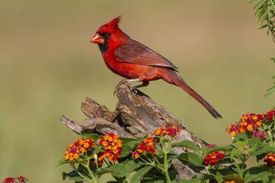 Northern Cardinal (Cardinalis Cardinalis) Male Perched on Log