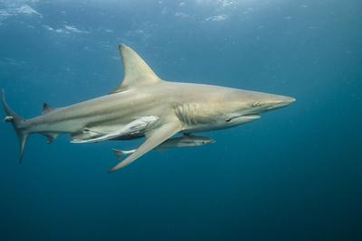 Oceanic Black-Tip Shark and Remora, KwaZulu-Natal, South Africa