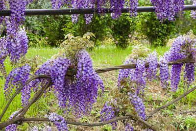 Arbor of Wisteria in Bloom, Firenze, Tuscany, Italy