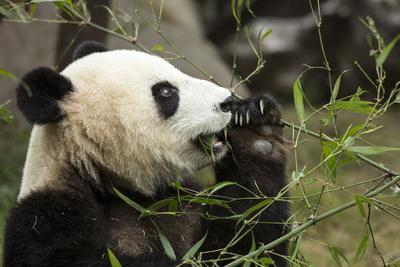 China, Sichuan, Chengdu, Giant Panda Bear Feeding on Bamboo Shoots
