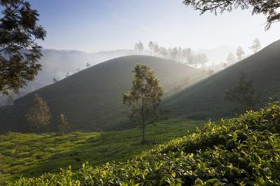 Tea Plantations, Munnar, Western Ghats, Kerala, South India