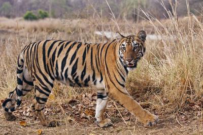 Royal Bengal Tiger in Grassland, Tadoba Andheri Tiger Reserve, India