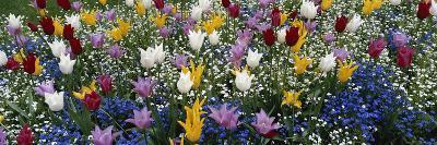 Canada, British Columbia, Victoria, View of Tulips Flowerbed
