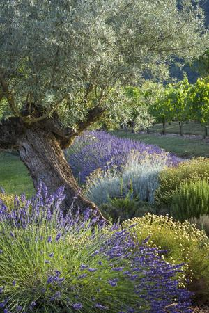 Olive Tree, Lavender and Grapevines in Gardem, Midi-Pyrenees, France
