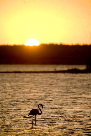 Caribbean, Netherlands Antilles. Flamingo in Gotomeer Lake at Sunset