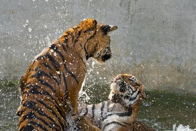 Tigers Playing in Water, Indochinese Tiger or Corbetts Tiger, Thailand