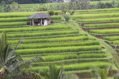 Indonesia, Bali. Terraced Subak Rice Fields of Bali Island, Indonesia