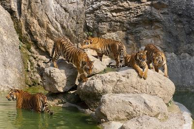 Indochinese Tiger or Corbett's Tiger, Thailand