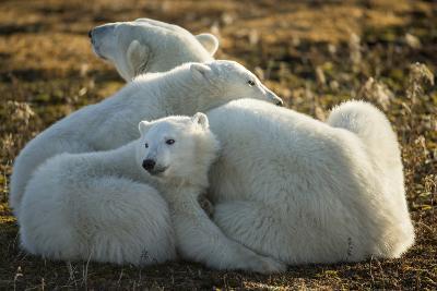 Canada, Manitoba, Churchill, Polar Bear and Cubs Resting on Tundra