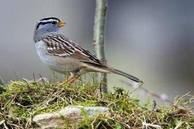 White-Crowned Sparrow Native to North America