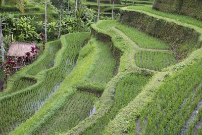 Indonesia, Bali. Terraced Subak Rice Paddies of Bali Island