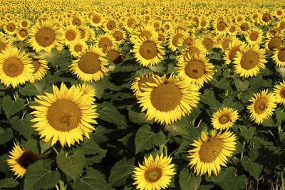 Europe, Italy, Tuscan Sunflowers