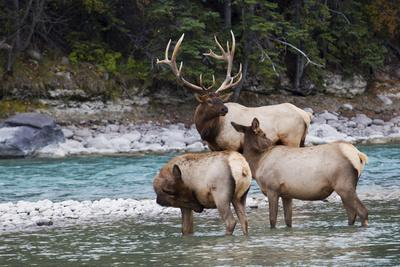 Rocky Mountain Bull Elk with Cows