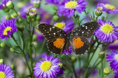 Crimson Patch Butterfly, Cholsyne Janais a New World Butterfly