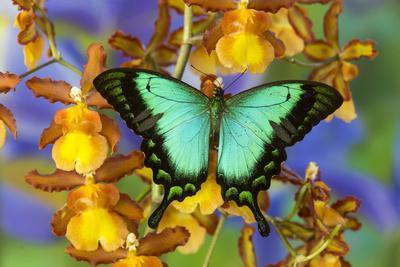 Sea Green Swallowtail Butterfly, Papilio