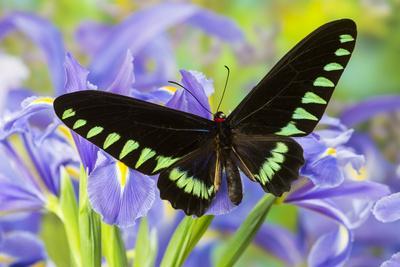 Palawan Birdwing or Triangle Birdwing Butterfly, Trogonoptera Trojana