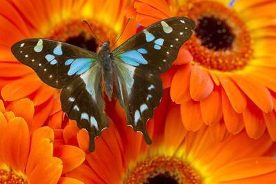 Butterfly Graphium Stresemanni