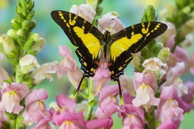The Orange Kite Swallowtail Butterfly, Eurytides Thyastes