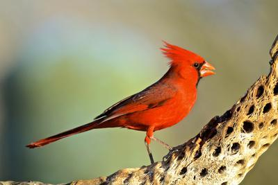 A Male Cardinal Feeds on Insects on a Cholla Cactus Skeleton