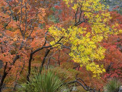 Texas, Guadalupe Mountains NP. Bigtooth Maple Trees in Fall Color
