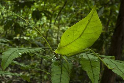 Leaf Katydid, Yasuni NP, Amazon Rainforest, Ecuador
