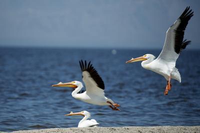 White Pelicans on the Shore of the Salton Sea in California