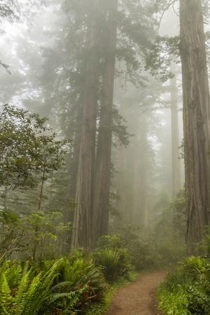 USA, California, Redwoods NP. Trail Through Redwood Trees and Fog