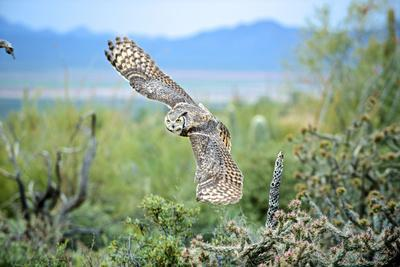 Great Horned Owl in Flight, also known as the Tiger Owl