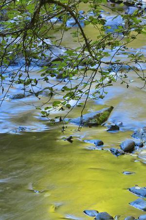 USA, Oregon. Alder Tree over South Fork Wilson River