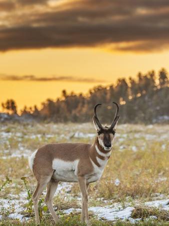 USA, South Dakota, Custer State Park. Pronghorn Antelope at Sunrise