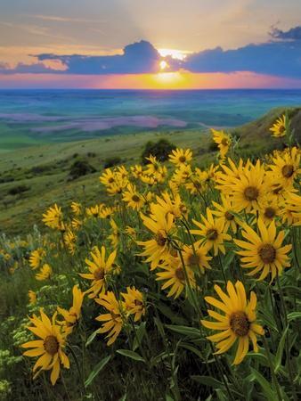 Washington State, Palouse Hills. Landscape with Douglas' Sunflowers