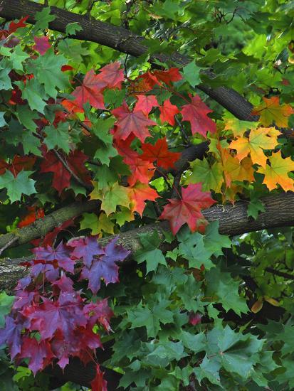Usa Oregon Portland Sugar Maple Tree Scenic Photo By Steve