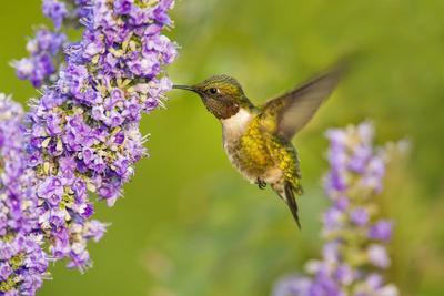 Ruby-Throated Hummingbird (Archilochus Colubris) Male Feeding