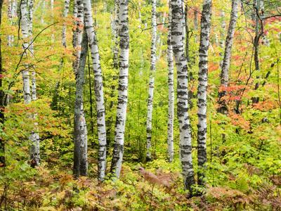 Birch and Maple Leaves, Pictured Rocks National Lakeshore, Michigan