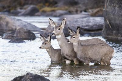 Wyoming, Mule Deer Doe and Fawns Standing in River During Autumn