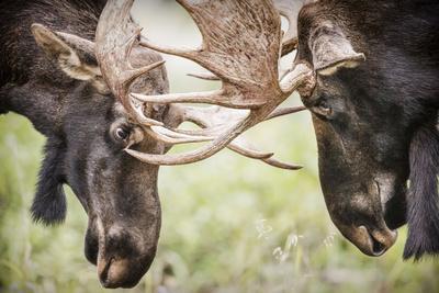Teton NP, Wyoming, USA. Close-up of Two Bull Moose Locking Horns