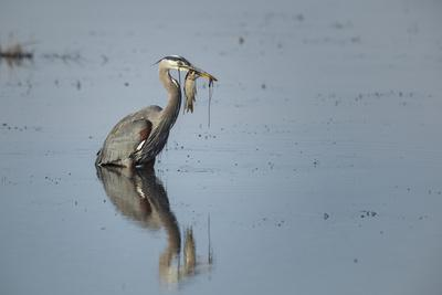 USA, Oregon, Baskett Slough Nwr, Great Blue Heron with a Carp