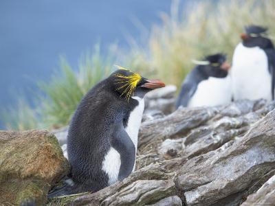 A Macaroni Penguin (Eudyptes Chrysolophus), East Falkland, Falkland Islands, South Atlantic